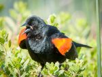 Blackbird singing in the bright noon sky by kayaksailor