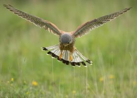 Kestrel by Albi748