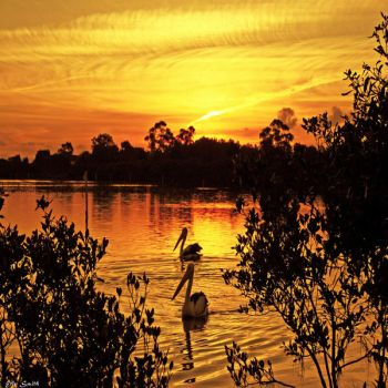 Peaceful Pelicans by engridearty