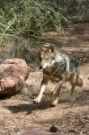 Mexican Grey Wolf 004 by FoxWolfPhoto