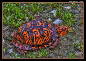 Orange Box Turtle by boron