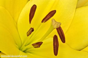 Yellow Lily by amrodel