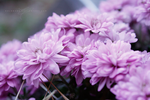chrysanthemums at dusk. by Ralenore