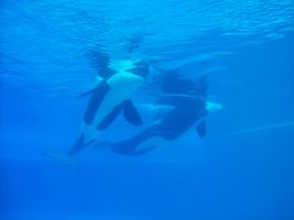 Mama and baby orca 2 by athyn100