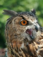 Eagle Owl by SteelCowboy