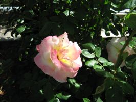 Mixed Rose surrounded by Wistfulwish