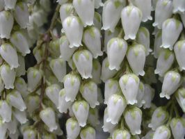 Little White Bells by kanes