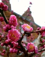 Plum Blossoms by KitzelPancake