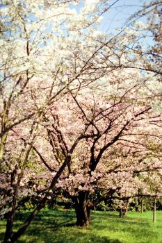 film. Cherry Blossom by Zeitwolf