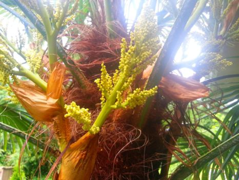 Yellow Flowering Palm by darknessoverfear