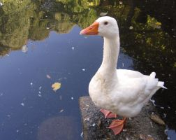Goose 2 Stock by sirkeht