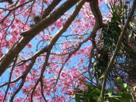 pink flowering tree 4 by crazygardener