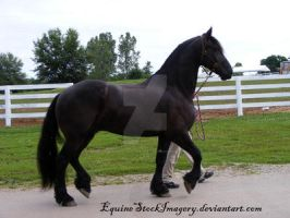 Friesian 15 by EquineStockImagery