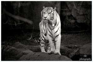 Black and white Tiger by TlCphotography730