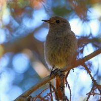 Black redstart in the shadow by Jorapache