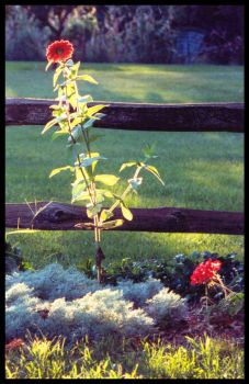 Fence Flower by Mennonot