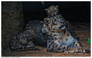 Snow Leopard Cubs 1 by Reto