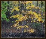 Yellow leaves.800 1014, with story by harrietsfriend