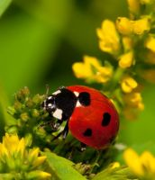 Lovely Ladybird Macro by Mishari-Alreshaid