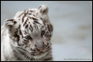 White tiger by AF--Photography