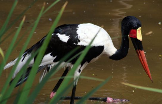 Saddle-Billed Stork by Mikaboshi