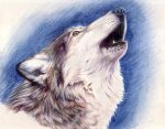 wolf by imcy