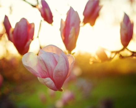 Magnolia Blooms in Sunset by Kellyeliza