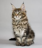 Maine Coon Kitten Baileys by ropo-art