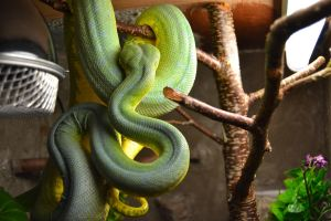 green tree python by Danesippi