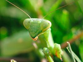 RESCUED MANTID by Sandy33311