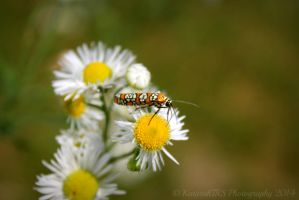 Ailunthus Webworm Moth by KaturahTRS
