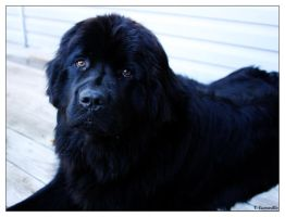 Newfie by pinkpotassium