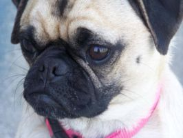 Pug Face by PaintedTreasure