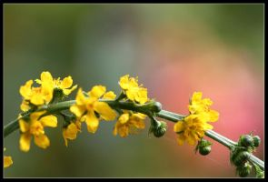 agrimony1 by 21711