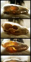 Canid Skull Comparison by Camera-Silens