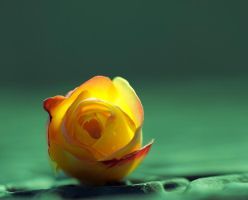 My special rose by pqphotography