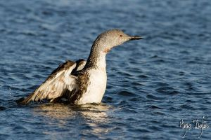 Red-Throated Loon by Robin-Hugh