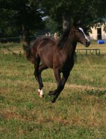 Black Filly 4 .:Stock:. by Photopolis