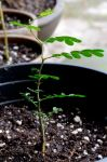 Tex Ebony Seedling by lamorth-the-seeker