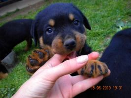 Rottweiler puppy2 by Whispery