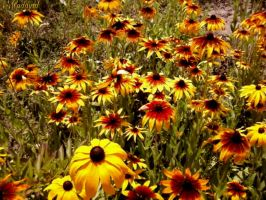 Lots and lots of flowers. Rudbeckia. by Mladavid