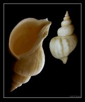 .:seashell:. by cilie