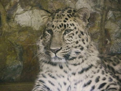 amur leopard by kittymichaels