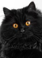 Cute black persian cat by jordansart