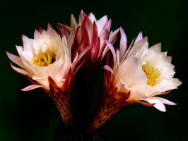 Echinopsis... just one day by kanes