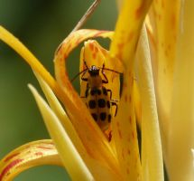 Spotted Cucumber Beetle., by duggiehoo