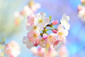 Cherry Blossom 3 by simzcom