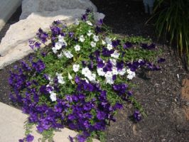 Purple and white flowers by CrimsomLight