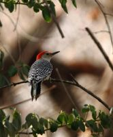 Red bellied woodpecker by natureguy