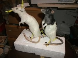 Rat Taxidermy Commissions by EternalEmporium